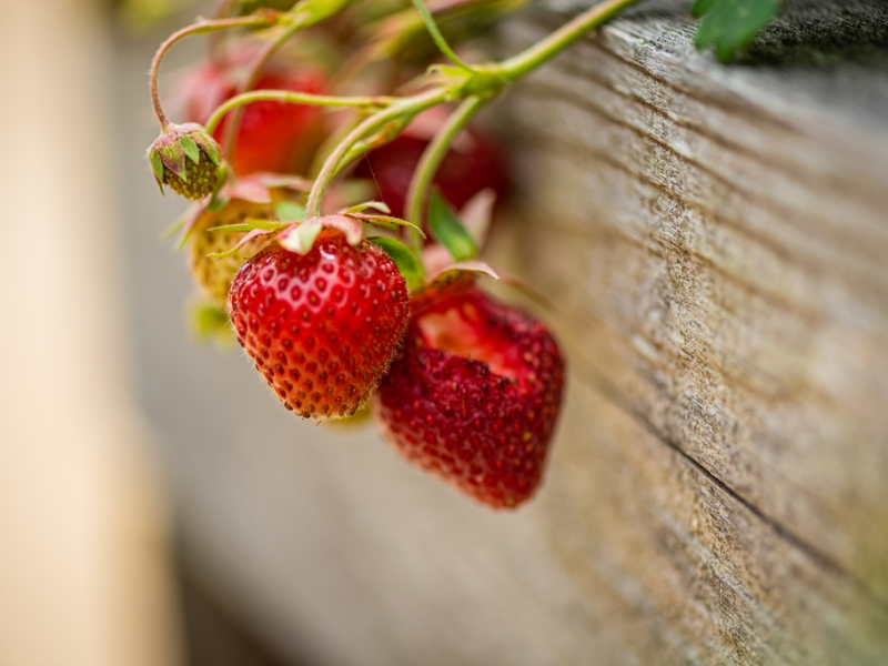 A bright red bunch of ripe strawberries overhangs a natural weathered wood planter box.