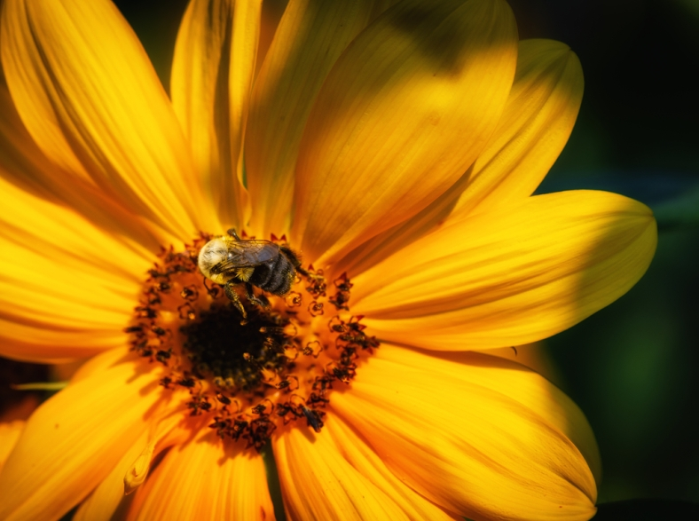 A bee gathers pollen from the center of a yellow daisy.
