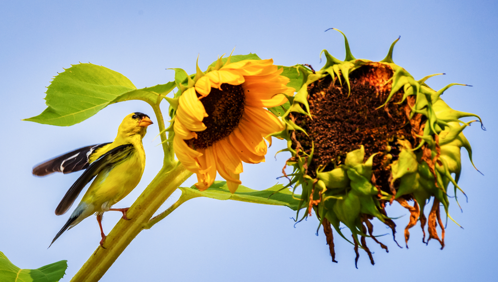 Sunflowers against a bright blue sky, with one of two blossoms beginning its end of season fade. A bright yellow goldfinch sits on the stalk.