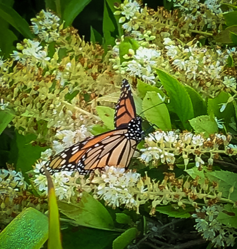 Monarch butterfly rests on flowers of a summersweet plant.