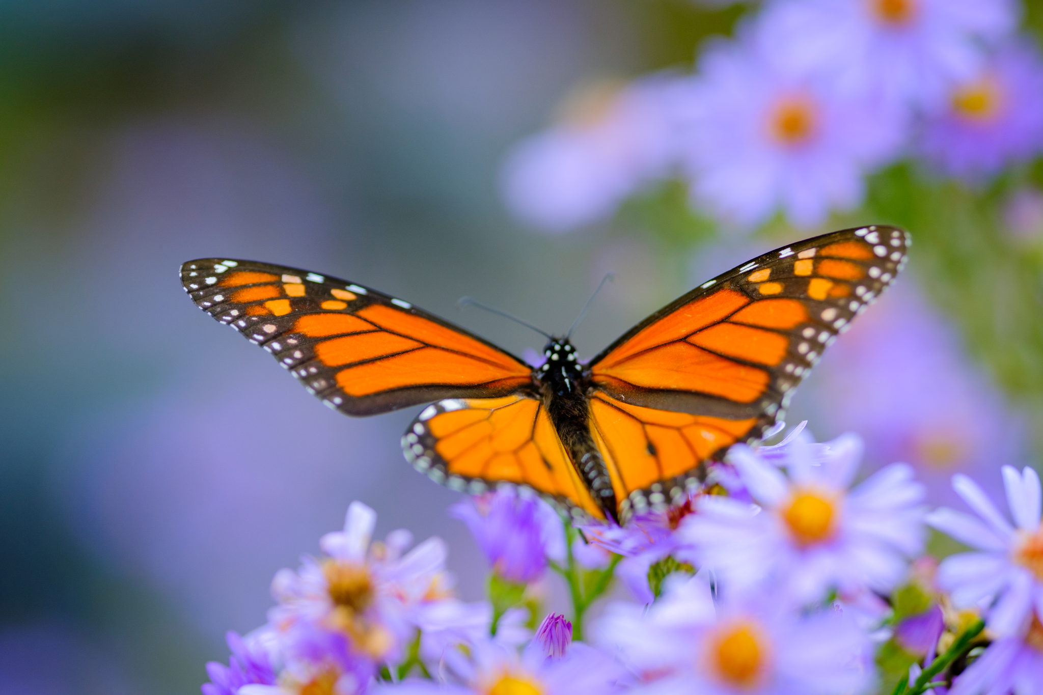A bright orange and black monarch butterfly sits on purp