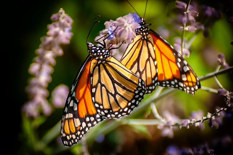 The photograph shows two orange, white, and black monarch butterflies gathering nectar from a stalk of lavender sage.
